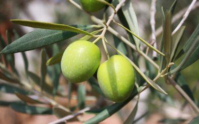 Verticilosis del Olivo | Tratamiento del Verticillium Dahliae