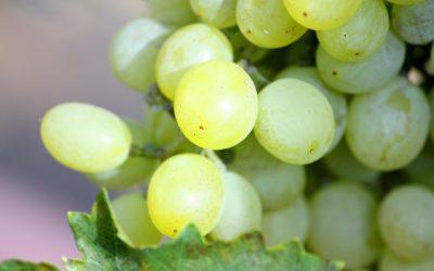 Cómo conseguir el tamaño de uva adecuado