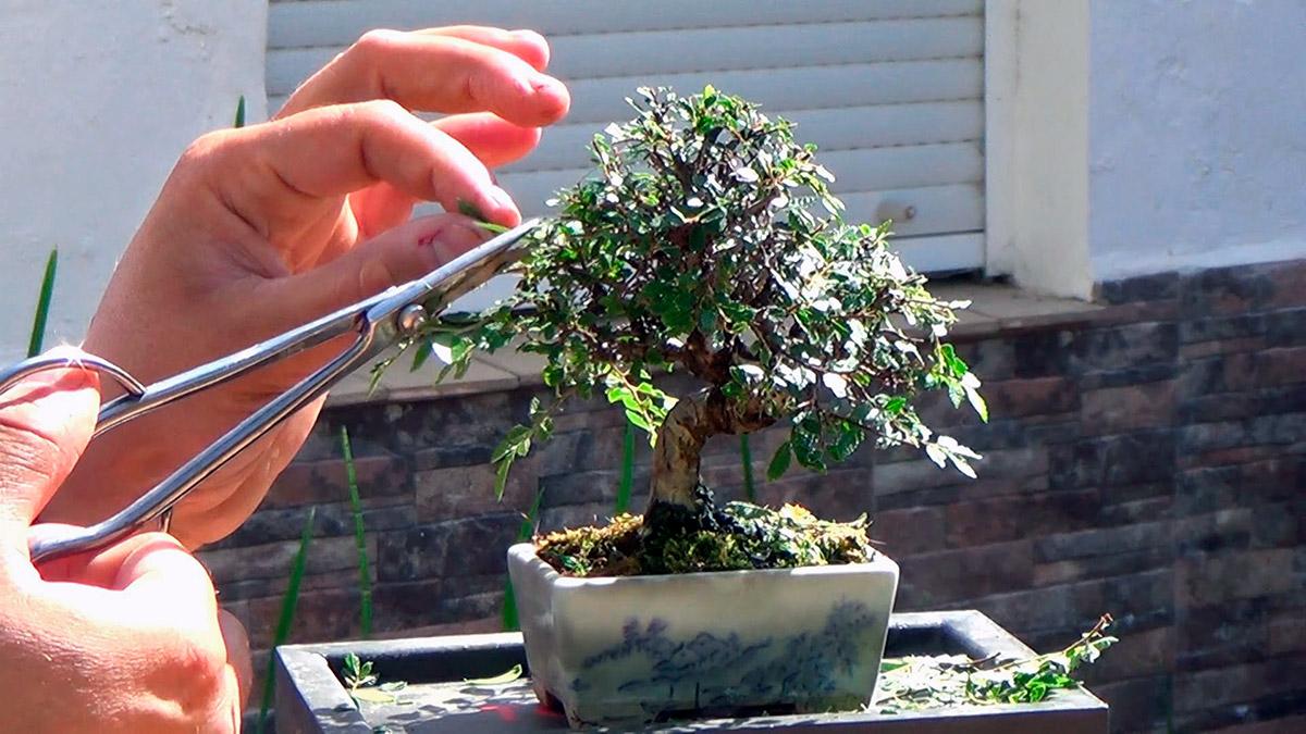 C mo cuidar un bons i 11 consejos que funcionan nostoc - Como cuidar un bonsai ...